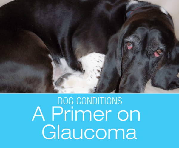 A Primer on Glaucoma in Dogs
