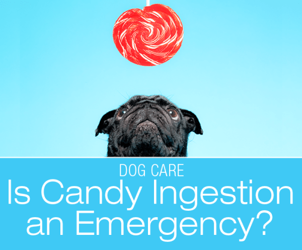 Is Ingestion of Candy an Emergency? My dog ate a candy, is he going to die?