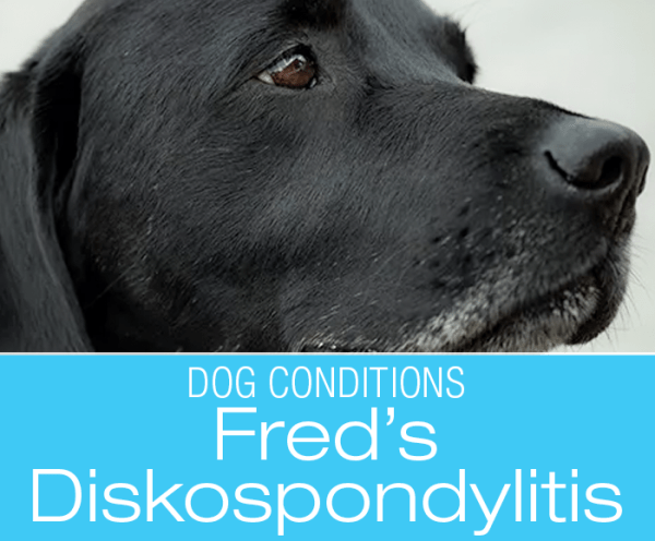 HBOT Treats Canine Diskospondylitis: Hyperbaric Oxygen Therapy for Infection of Intervertebral Disks—Fred's Story