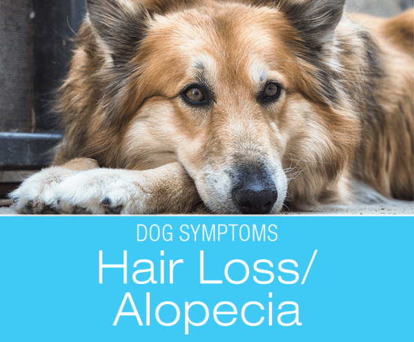 Hair Loss (Alopecia) in Dogs: Why Is My Dog Losing Hair?
