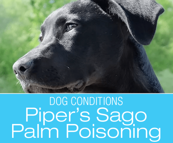 Sago Palm Poisoning in Dogs: Piper's Brush with Death