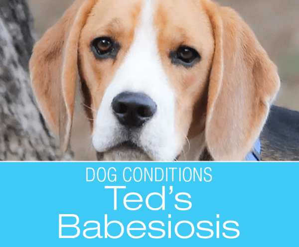Babesiosis in a Dog: Ted's Story