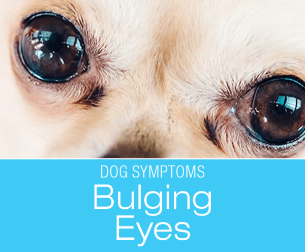 Bulging Eyes in Dogs: When Your Dog's Bulging Eyes Are Not Normal, And You Should Be Concerned