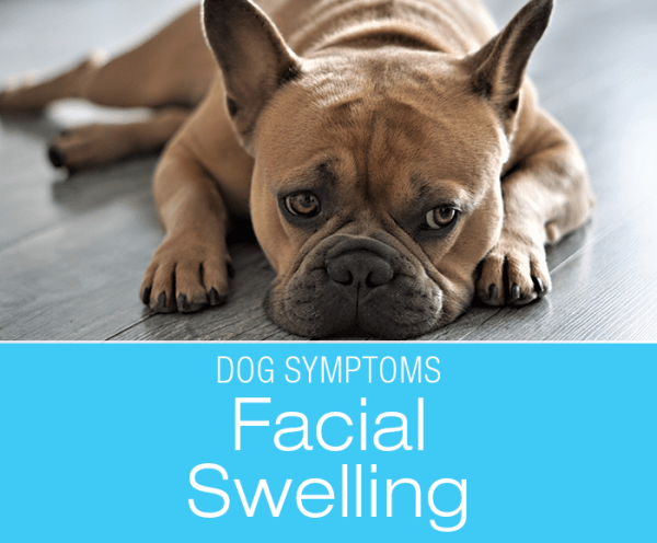 Facial Swelling in Dogs: Why Is My Dog's Face Swollen?