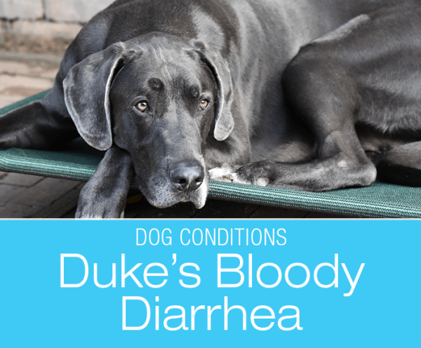 Bloody Diarrhea in Dogs: Duke's Bloody Vomiting and Diarrhea