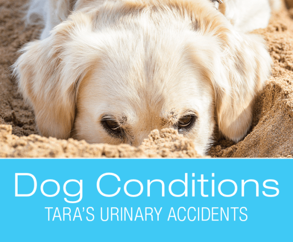 Chronic UTI in Dogs: Tara's Increased Thirst and Urinary Accidents