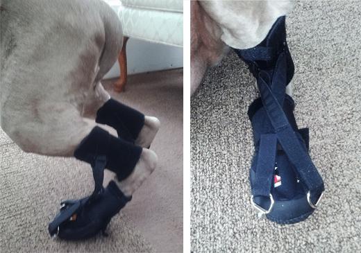 Canine Rehabilitation Support Devices: Custom Dorsi-Flex Assist Wraps