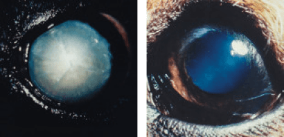 Causes of Cloudy Eyes in Dogs:: cataract vs nuclear sclerosis