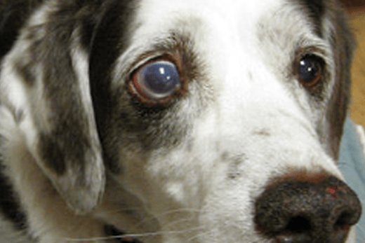 Bulging Eyes in Dogs: Glaucoma