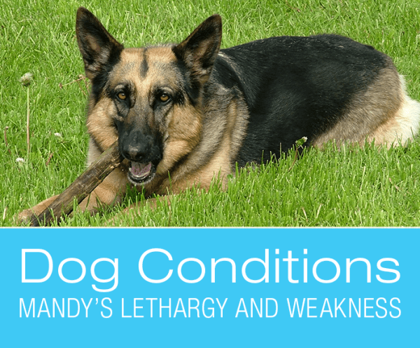 Weakness and Lethargy in Dogs: Mandy Cannot Walk. What Would You Do if It Was Your Dog?