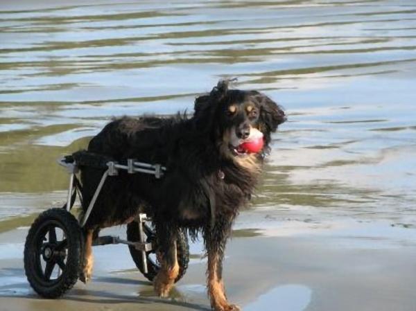 Canine Degenerative Myelopathy (DM):  Standard Rear Wheel Cart