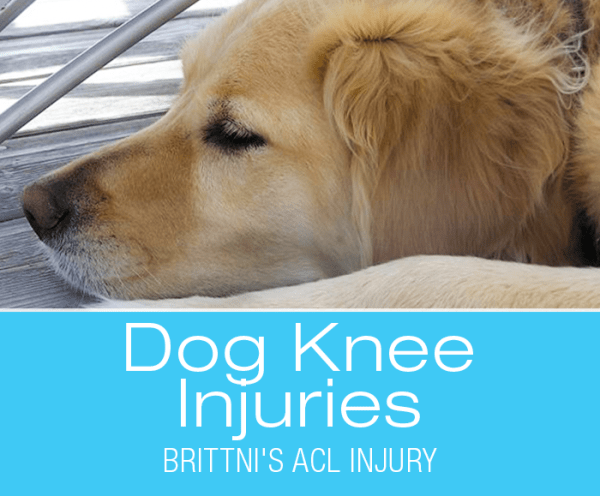 CCL Injury in Golden Retriever: Knowledge Is Your Friend—Brittni's ACL/CCL Injury
