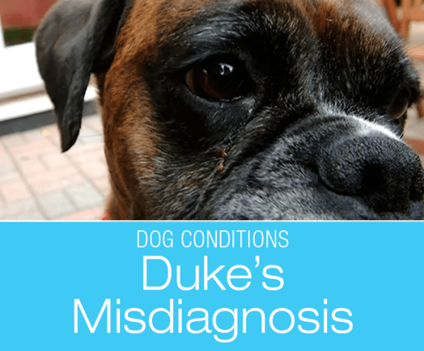 Misdiagnosis in a Boxer: Duke's Missed Diagnosis. What Would You Do If It Was Your Dog?