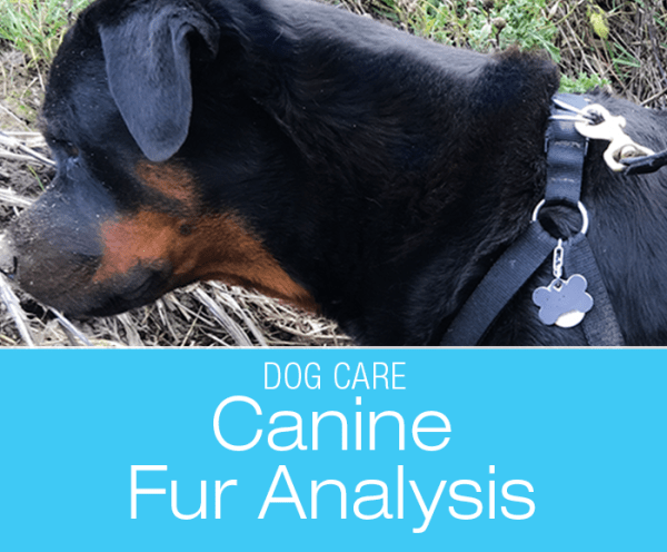 Canine Fur Analysis: What Fur Can Reveal and Differences between Labs