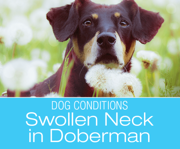 Doberman with Neck Swelling: Rio's Story of a Mysterious Swelling on His Neck