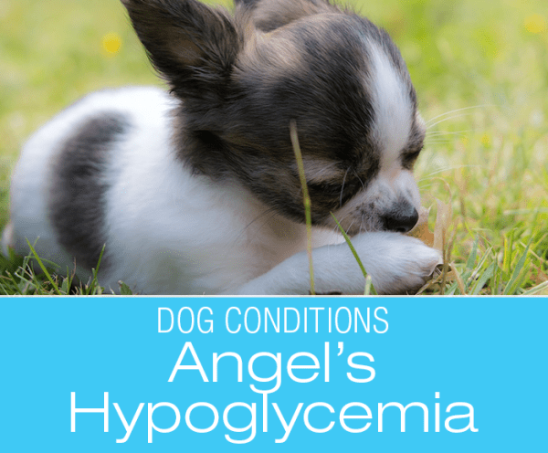 Small Puppy Hypoglycemia: Angel's Story