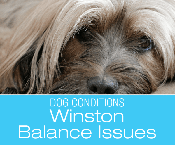 Tibetan Terrier Balance Issues: Winston Starts Staggering and Walking in Circles