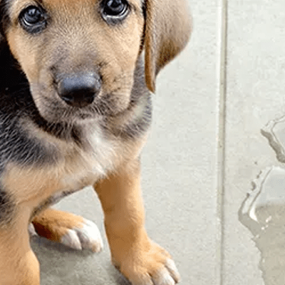 Potty Accidents in Dogs: Incontinence versus UTIs