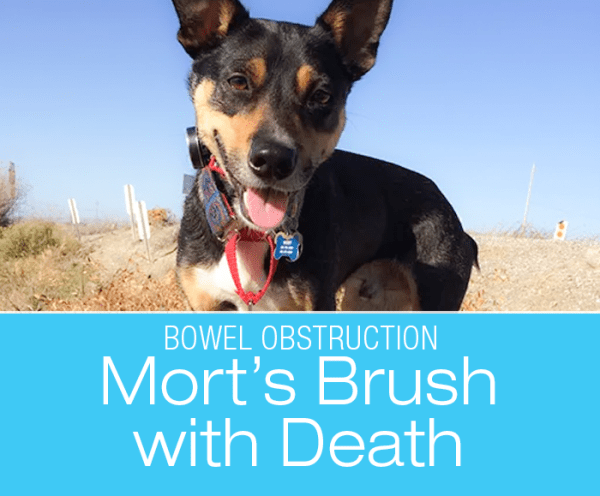 Bowel Obstruction and Peritonitis in a Dog: Mort's Brush with Death