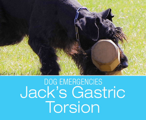 Gastric Torsion in Dogs: Jack's Emergency Surgery