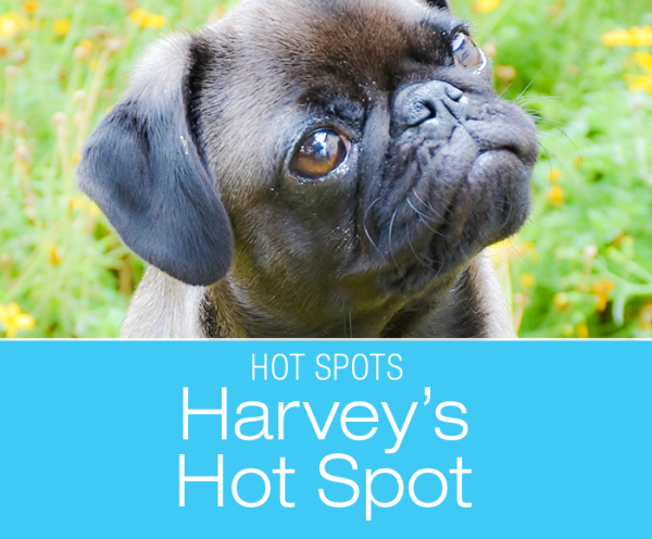 Hot Spots in Dogs: Harvey's Acute Skin Infection