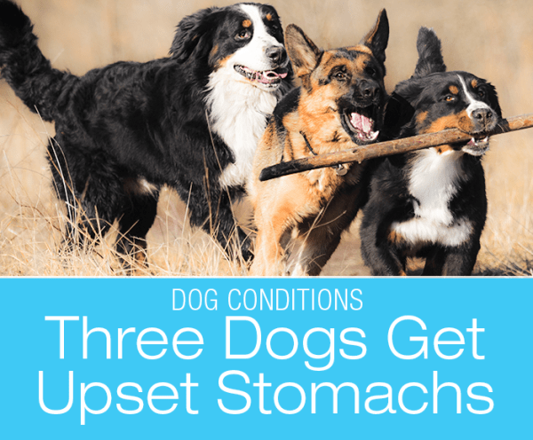 Multiple Dog Household Gastroenteritis: Three Housemates All get Diarrhea and Vomiting