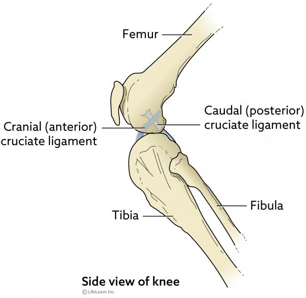 Side view of canine knee joint