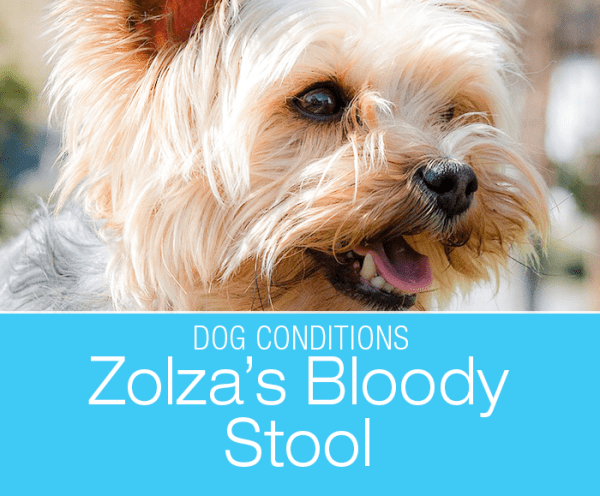 Bloody Stool in a Dog: Zolza's Hemorrhagic gastroenteritis (HGE). Yorkshire Terriers are one of the breeds susceptible to this condition.