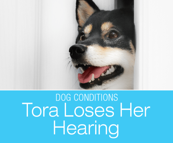 Sudden Deafness in a Dog: Tora Loses Her Hearing. A change in behavior can alert you to important changes in your dog's health.