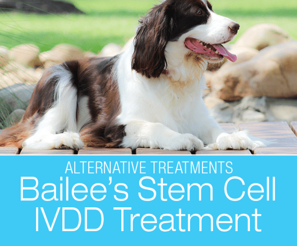 Regenerative Therapy to Treat IVDD? Bailee's IVDD
