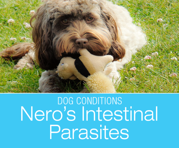 Gastrointestinal Parasites in Dogs: Nero's Spaghetti Diarrhea. Puppies contract intestinal worms through their mother's milk. The parasites' clever life requires multiple treatments to eliminate them from their system.