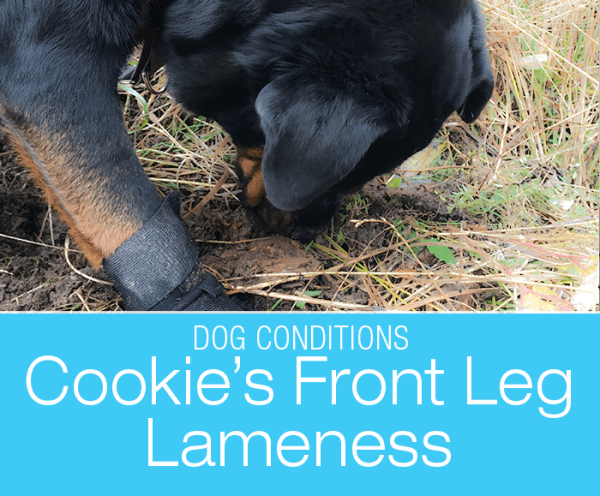 Front Leg Lameness in a Rottweiler: Cookie's Sore Front Legs. Front Leg Lameness in a Rottweiler: Hind leg lameness has been my biggest fear. Yet, a sore front leg can be way more complicated.