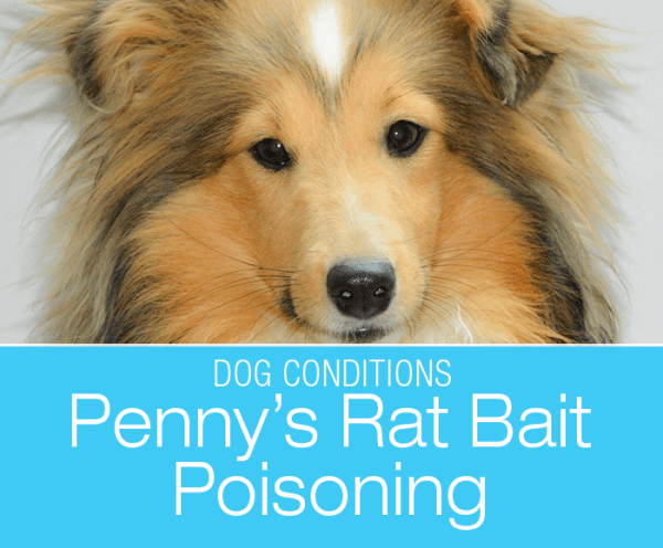 Rat Bait Poisoning in a Dog: Penny's Eats Rodenticide