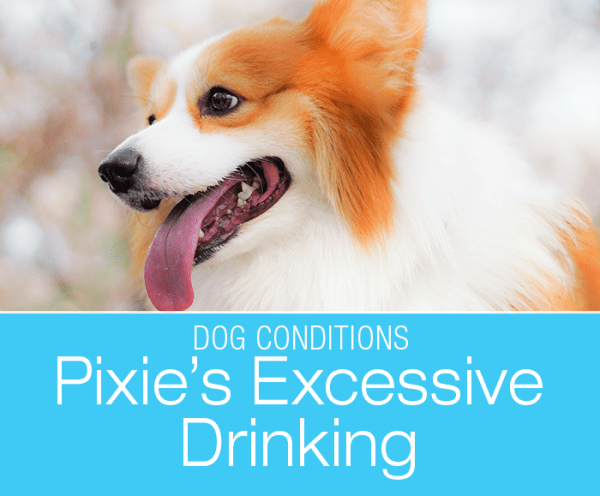 Change in Drinking Habits in Dogs: Pixie's Excessive Thirst