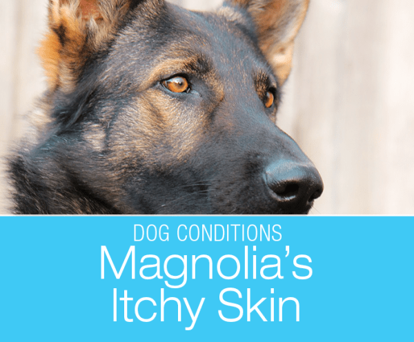 Red Skin and Hair Loss in a Dog: Magnolia's Demodex Infection and Excessive Self-Licking