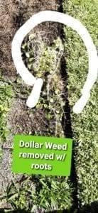 Skillings DollarWeed Grass & Mint 0311