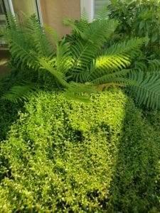 Swamp Twinflower