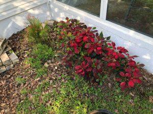 Poinsettia in The Garden