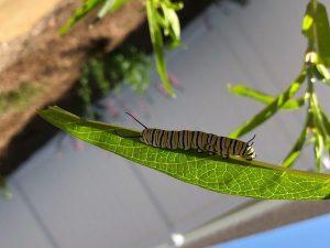 Caterpillar in The Garden