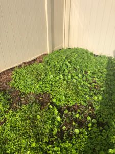 Dollarweed Taking Over The GArden