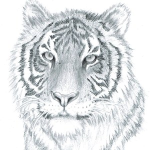 drawing animals simple drawings animal realistic sketches draw portrait tiger pencil fun figure mydrawingtutorials