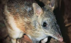 http://www.zoo.org.au/werribee/animals/eastern-barred-bandicoot