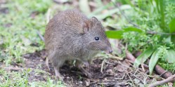https://www.adelaidezoo.com.au/animals/long-nosed-potoroo/