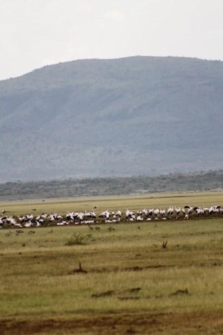 Flamingos surrounding Lake Manyara.