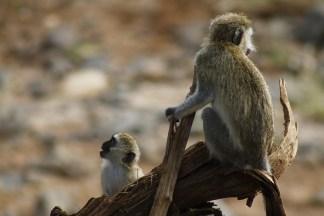 Vervet's at Lake Manyara National Park
