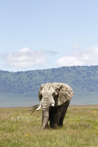 Big, tempermental, male Elephant.