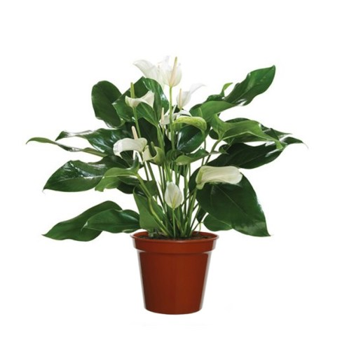 Peace Lily for Indoor Air Filtering