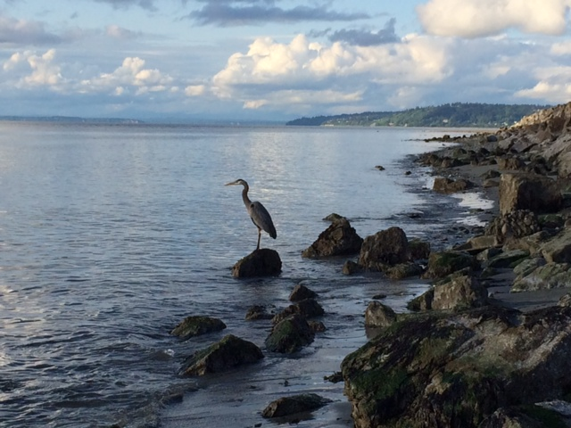 From Julie Van Tosh, a heron near Brackett's Landing at low tide.