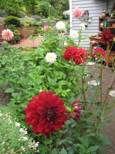 Dahlias from Carol Blake, Edmonds neighborhood unknown.