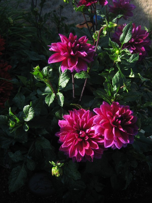 From Gretchen Jolly, dahlias in the Ardenwood neighborhood.